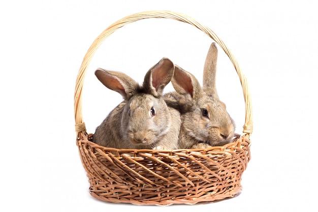 Dois coelhos fofos cinzentos em uma cesta, isolar, coelhinho da páscoa em uma cesta