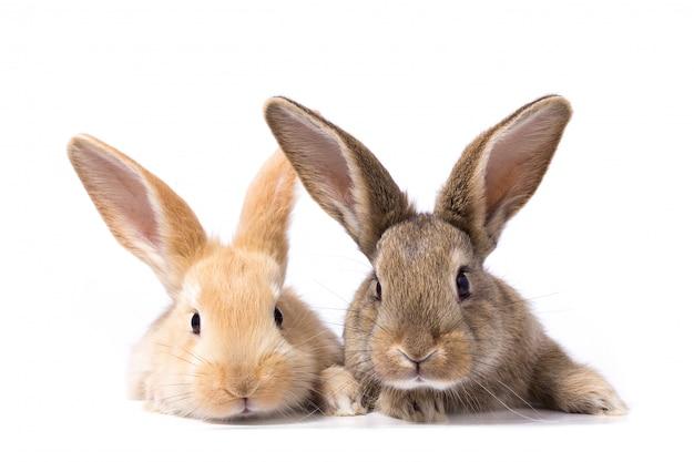 Dois coelhos fofos olhar para a tabuleta