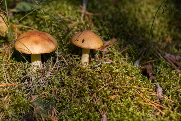 Dois cogumelos em uma clareira da floresta nos raios do sol no outono