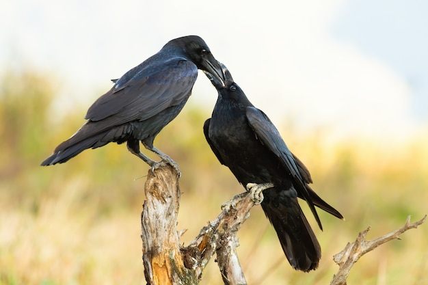 Dois corvos alimentando-se no galho na primavera