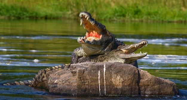 Dois crocodilos do nilo estão deitados em uma pedra