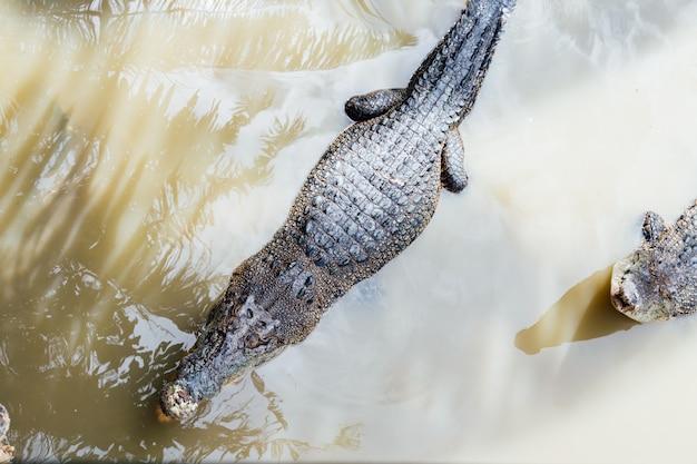 Dois crocodilos na água em uma reserva de vida selvagem