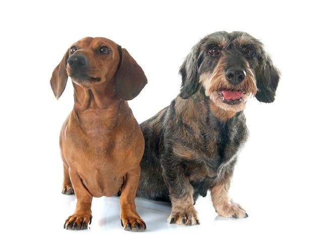 Dois dachshunds