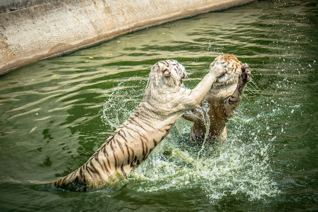 Dois dos tigres brincando no zoológico