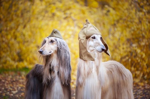 Dois elegantes cães de caça afegão, cães, em um boné militar e boné de campo no contexto da floresta de outono. conceito de proteção de host, protetor de cão