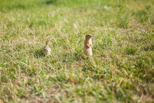 Dois esquilos em um campo de grama em um dia ensolarado