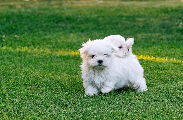 Dois filhotes de bichon maltês brincando na grama