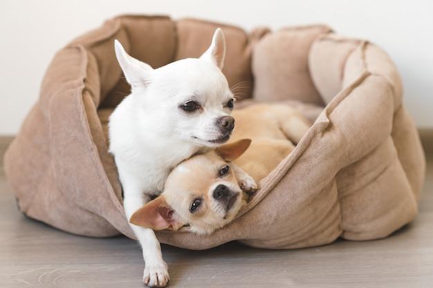 Dois filhotes de cachorro adoráveis da chihuahua que encontram-se na cesta do cão em casa.