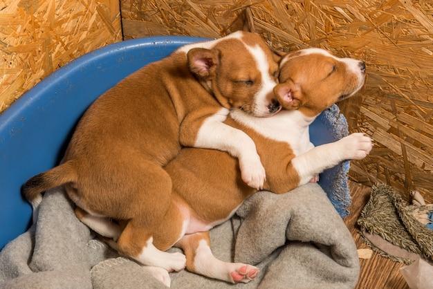 Dois filhotes de cachorro basenji, bebês pequenos engraçados, estão dormindo docemente amontoados no aviário no sofá.