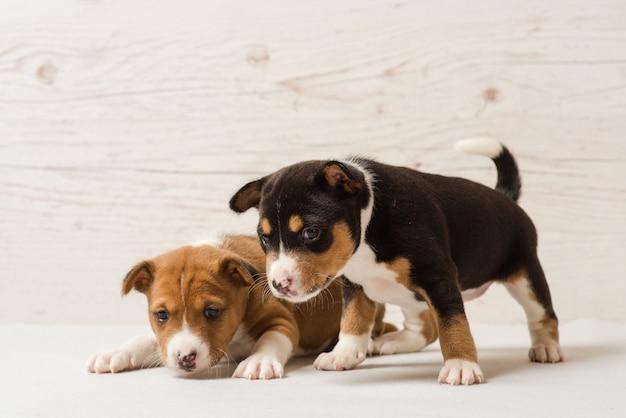 Dois filhotes de cachorro bonito basenji