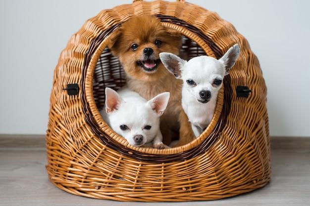 Dois filhotes de cachorro chihuahua e cachorro pomeranian compartilhando uma casa de cachorro
