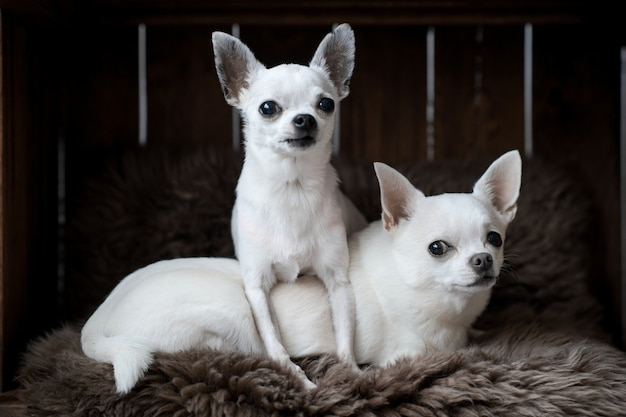 Dois filhotes de cachorro chihuahua engraçado deitado no tapete em casa de cachorro