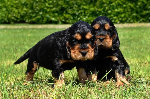 Dois filhotes de cachorro do inglês cocker spaniel.