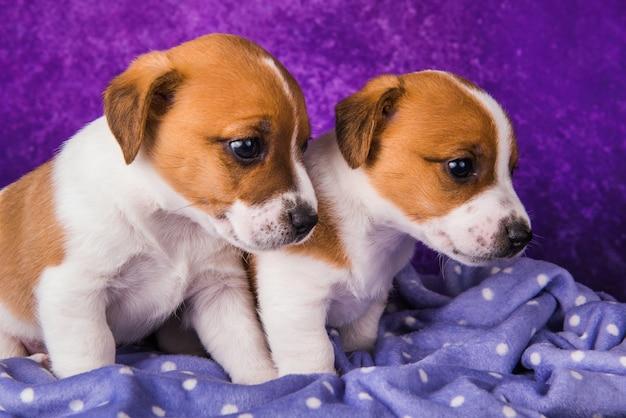 Dois filhotes de cachorro jack russell terrier em um roxo