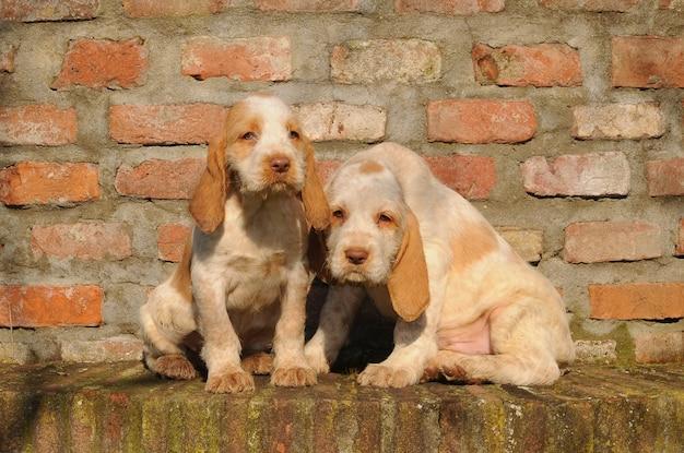 Dois filhotes de cachorro spinone italiano