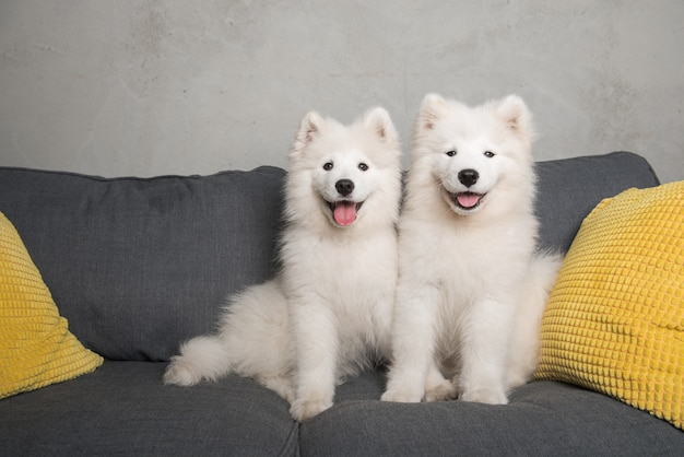 Dois filhotes de cães samoiedos fofos brancos engraçados estão sentados no sofá cinza com almofadas amarelas.