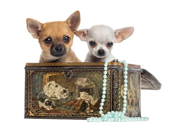 Dois filhotes de chihuahua em uma caixa vintage