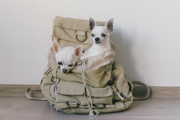 Dois filhotes de chihuahua, sentado no bolso da mochila de lona hipster com caretas e procurando maneiras diferentes. cães viajam. relaxe confortável. animais de estimação em férias. família de animais juntos em casa
