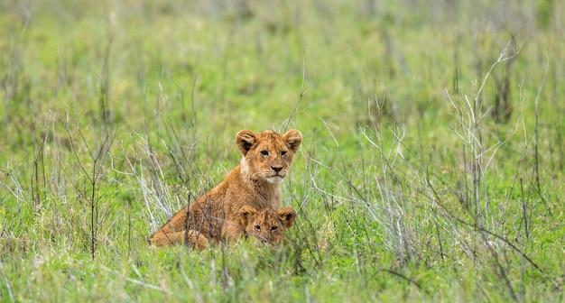 Dois filhotes de leão estão jogando um contra o outro no parque nacional do serengeti.