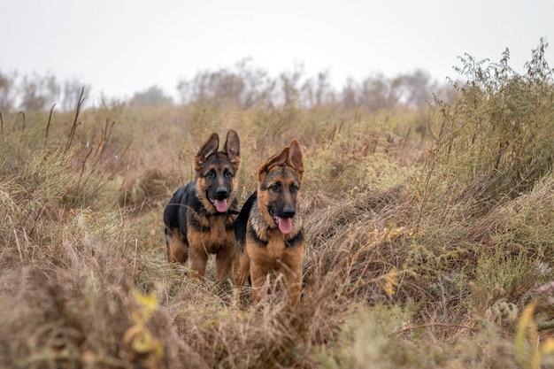 Dois filhotes de pastor alemão na grama alta. animal doméstico. cães de raça pura. lindo animal de estimação em casa. estação do outono.