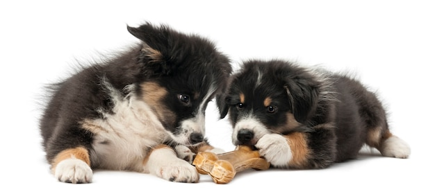 Dois filhotes de pastor australiano, mentindo e comendo osso da junta contra fundo branco