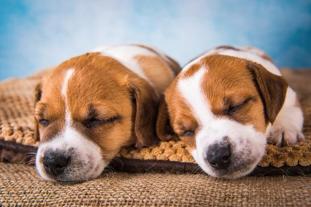 Dois filhotes de terrier jack russell dormem docemente em uma cama macia e têm sonhos de cachorro
