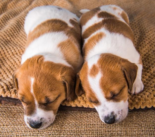 Dois filhotes de terrier jack russell dormem docemente em uma cama macia
