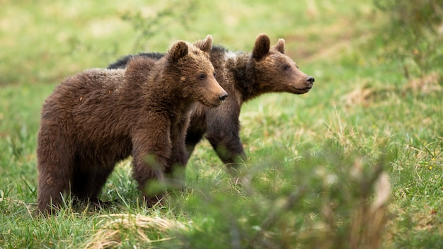 Dois filhotes de urso marrom bonito andando em um prado com grama verde na primavera.