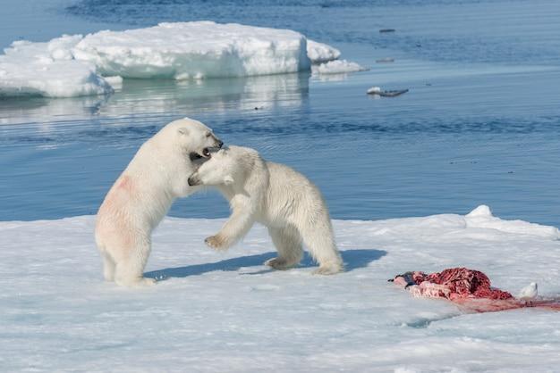 Dois filhotes de urso polar jovens selvagens brincando no gelo no mar ártico, ao norte de svalbard