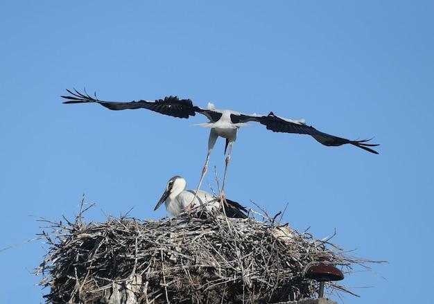 Dois filhotes grandes da cegonha-branca estão de perto no ninho. os ângulos e poses incomuns dos pintinhos são muito atraentes e exóticos.