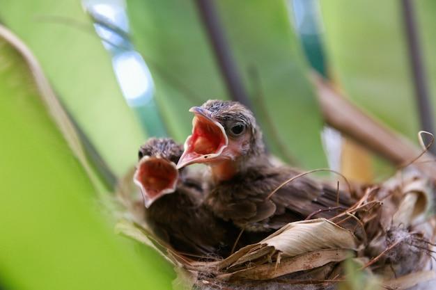 Dois filhotes no ninho abrem a boca esperando a comida da mãe pássaro.
