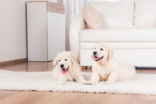 Dois fofos fofinhos retriever criam cachorros em casa