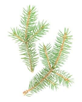 Dois galhos de árvore de natal isolados no fundo branco