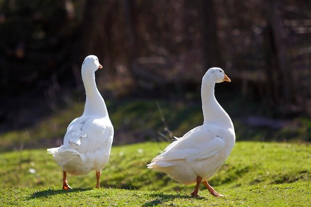 Dois gansos grandes brancos caminhando pacificamente juntos no prado gramado verde em direção a floresta borrada escura em dia ensolarado. beleza de aves, aves domésticas e conceito de proteção de vida selvagem.