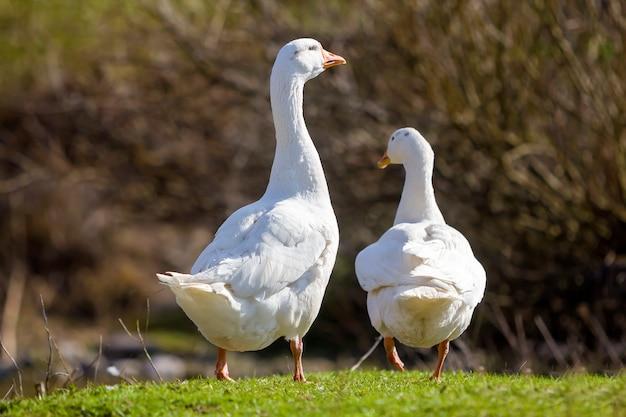 Dois gansos grandes brancos pacificamente andando juntos no prado gramado verde em direção a floresta borrada escura em dia ensolarado. beleza de aves, aves domésticas e conceito de proteção de vida selvagem.