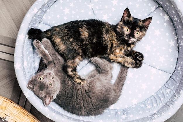 Dois gatinhos deitam-se na cama. um animal de estimação. foto de alta qualidade