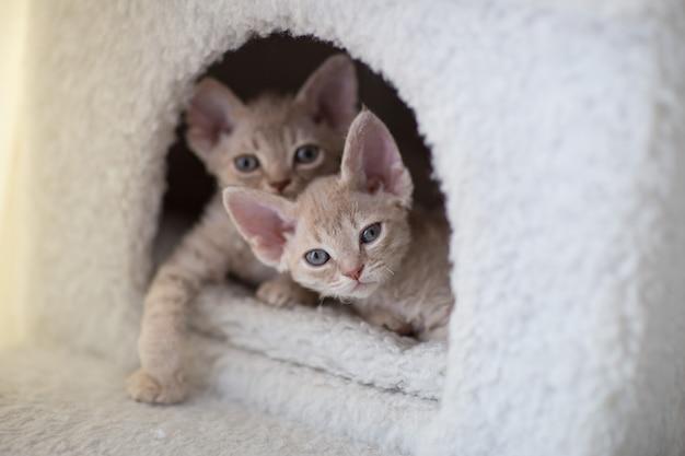 Dois gatinhos devon rex estão em uma casa de gato