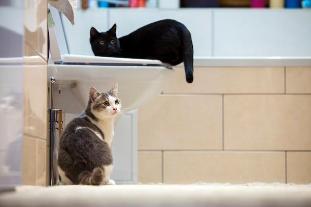 Dois gatinhos pretos e brancos e cinzentos espertos bonitos agradáveis dos gatos domésticos dentro de casa no banheiro. mantendo o animal de estimação em casa, o conceito de amor e carinho.