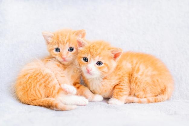 Dois gatinhos ruivos brincando em um cobertor branco macio e fofo