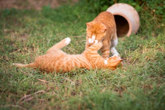 Dois gatinhos vermelhos
