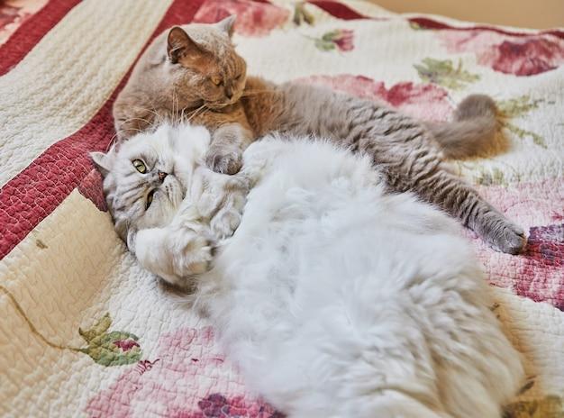 Dois gatos britânicos, de pêlo comprido e curto, estão abraçados na cama.
