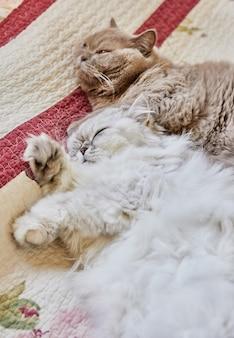 Dois gatos britânicos, de pêlo comprido e curto, estão dormindo na cama.