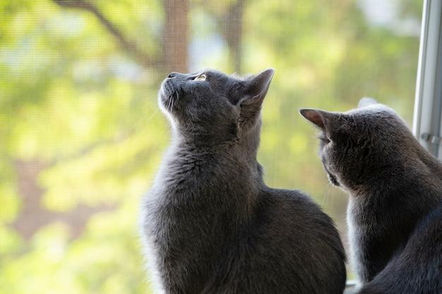 Dois gatos cinzentos chartreux olham pela janela
