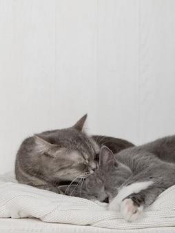 Dois gatos cinzentos dormem juntos, abraçam e cuidam. mostre ternura, deite-se em um suéter de malha branco macio.