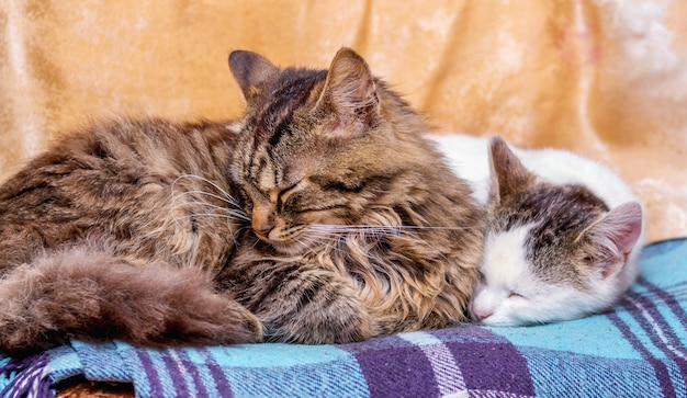 Dois gatos dormem em uma manta. gatos - mãe e bebê_ Foto Premium