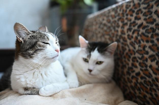 Dois gatos engraçados, deitada na cama