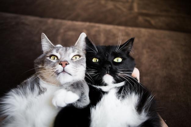 Dois gatos juntos cinza e preto e branco