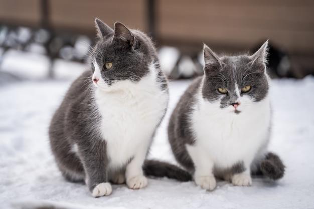 Dois gatos malhados azuis na neve em um dia frio de inverno