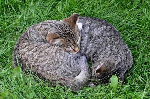 Dois gatos malhados estão dormindo na grama apaixonados.