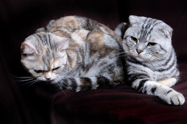 Dois gatos, scottish dobram o mármore na prata, scottish reto, retrato em um fundo escuro.